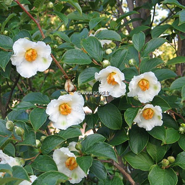Stewartia pseudocamellia C5L 60/80