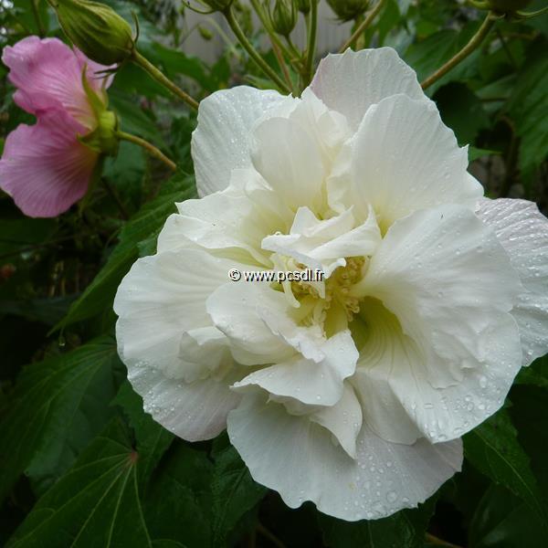 Hibiscus mutabilis \'Futuna\' ® C4L 30/40