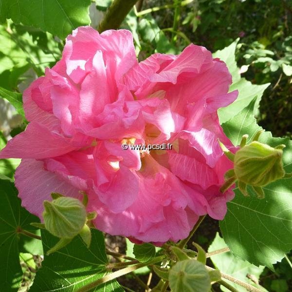 Hibiscus mutabilis \'Wallis\' ® C4L 40/60