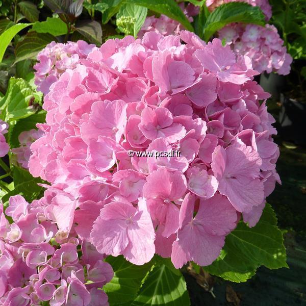 Hydrangea macrophylla \'Big Mama\' C4L 20/40