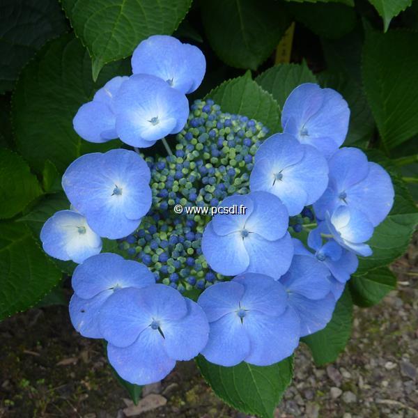 Hydrangea macrophylla \'Bläuling\' C4L 20/40