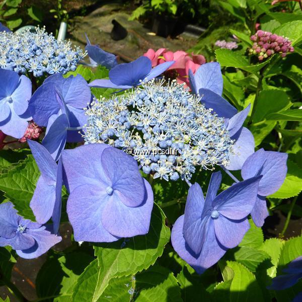 Hydrangea macrophylla \'Blaumeise\' C4L 20/40