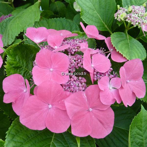 Hydrangea macrophylla \'Dolce Fragola\' ® C4L 20/40