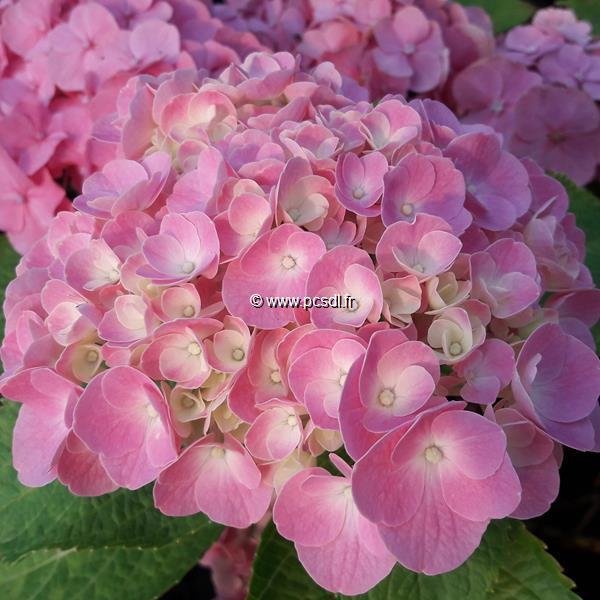 Hydrangea macrophylla \'Early Sensation\' C4L 20/40