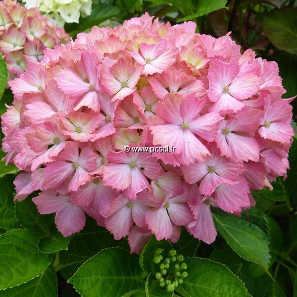 Hydrangea macrophylla \'Fantasia\' ® C4L 20/40