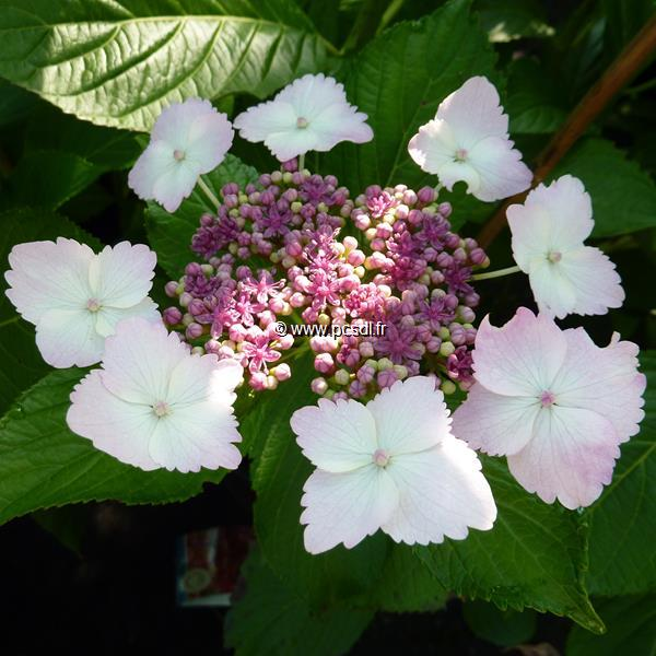 Hydrangea macrophylla \'Jean Varnier\' C4L 20/40