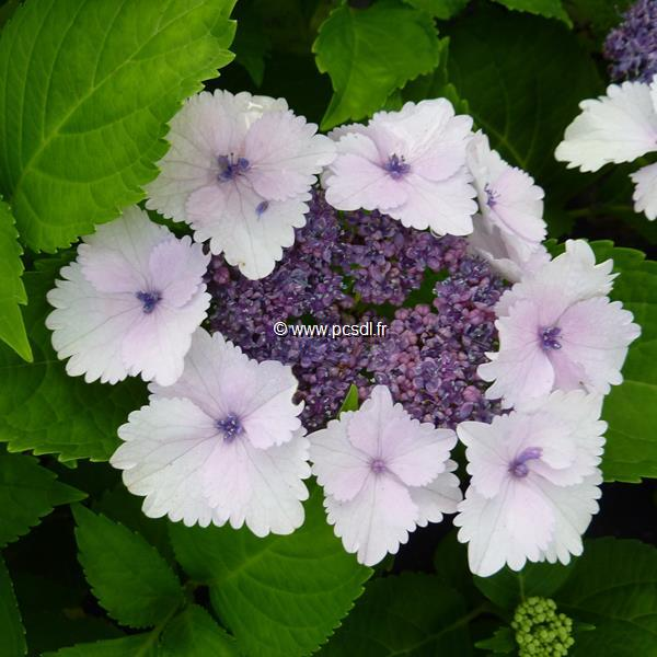 Hydrangea macrophylla \'Koria\' ® C4L 20/40