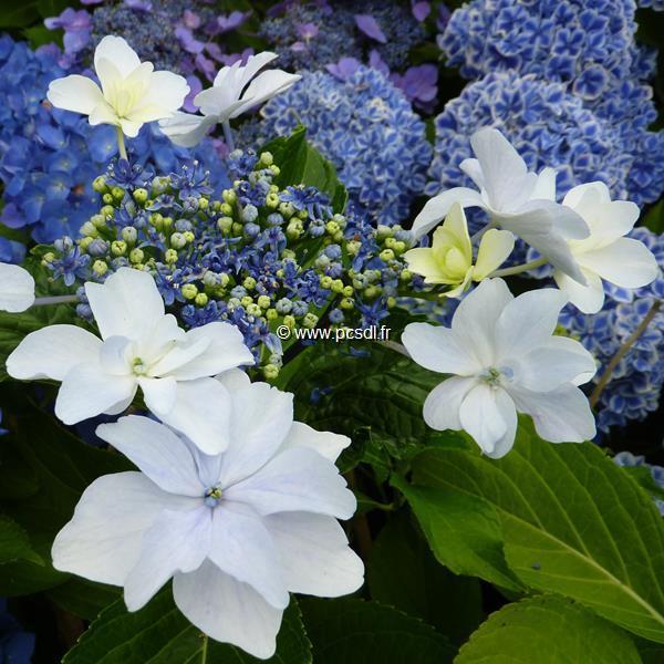 Hydrangea macrophylla \'Miharayama-yae\' C4L 20/40