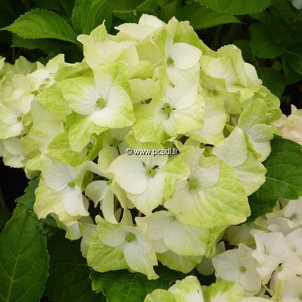 Hydrangea macrophylla \'Noblesse\' C4L 20/40