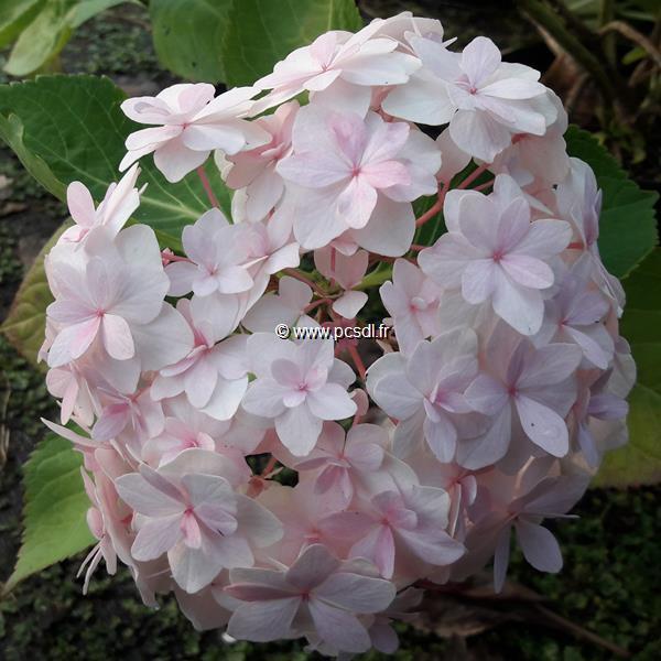 Hydrangea macrophylla (you&me) \'Peace\' ® C4L 20/40