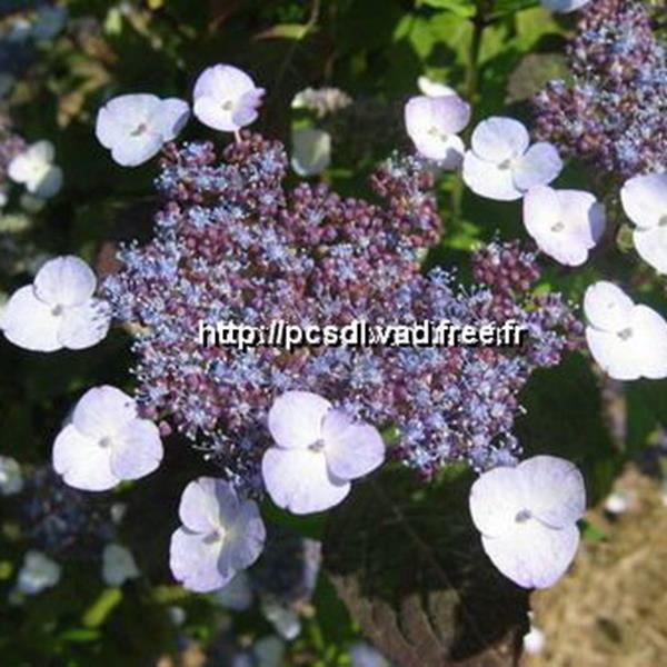 Hydrangea serrata \'Hime Amacha\' C4L 20/40