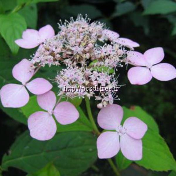 Hydrangea serrata \'Forget Me Not\' C4L 30/40