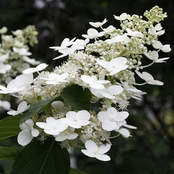 Hydrangea paniculata \'White Lace\' C4L 40/60