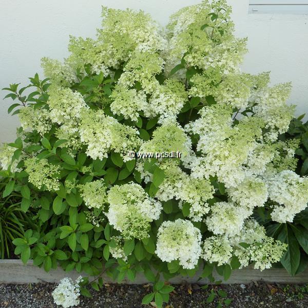 Hydrangea paniculata \'Bobo\' ® C15L 40/60