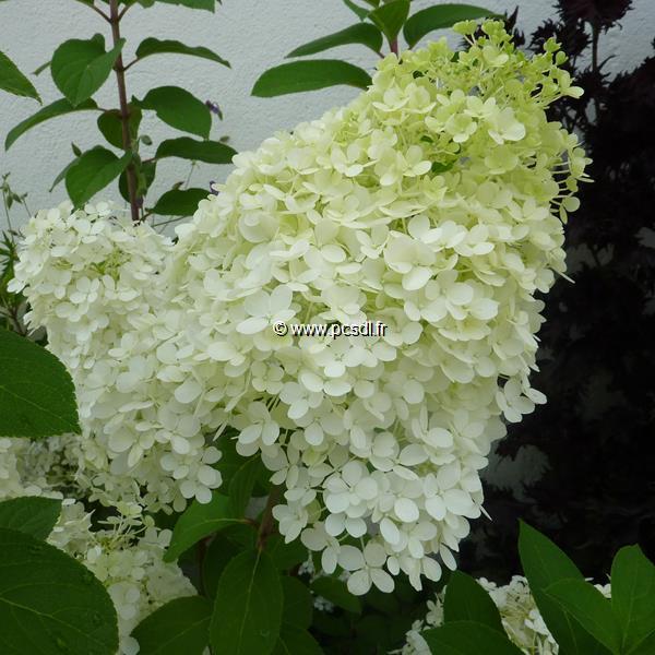 Hydrangea paniculata \'Bobo\' ® C4L 40/50