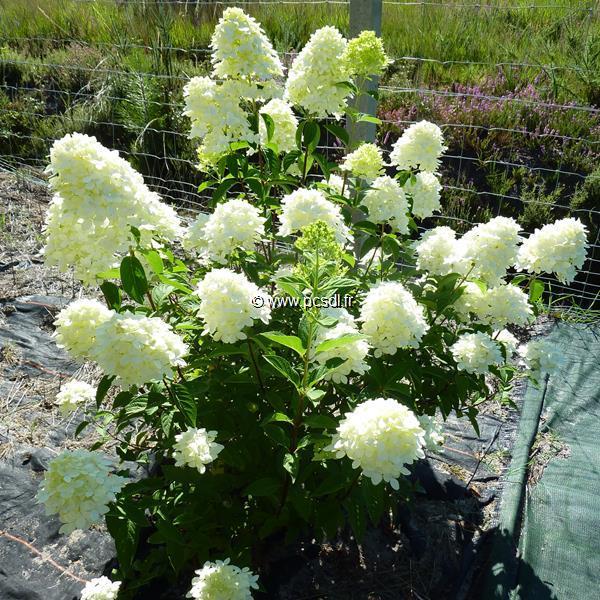 Hydrangea paniculata \'Candle\' C4L 30/40