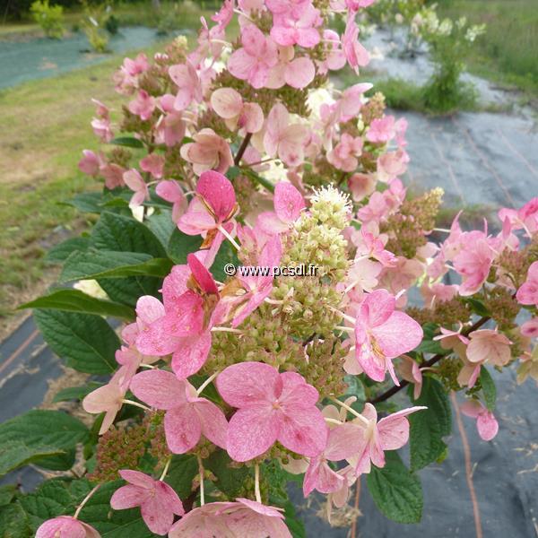 Hydrangea paniculata \'Fire\' C4L 40/50
