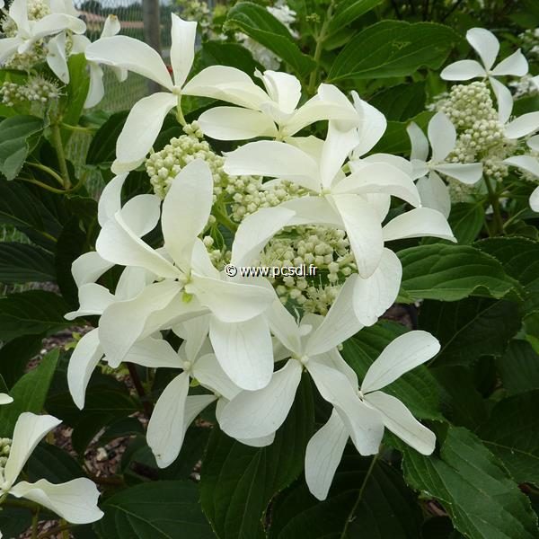 Hydrangea paniculata \'Great Star\' ® C4L 30/60