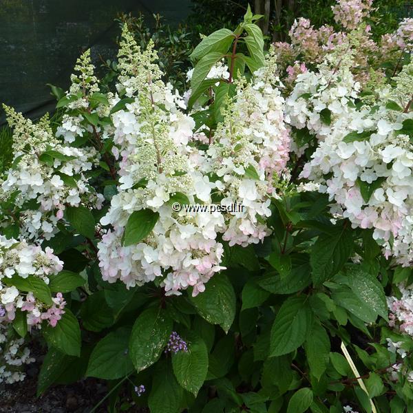 Hydrangea paniculata \'Pinky Winky\' ® C12L tige 90cm
