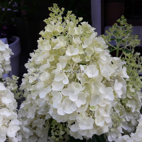 Hydrangea paniculata \'Silver Dollar\' C4L 40/50