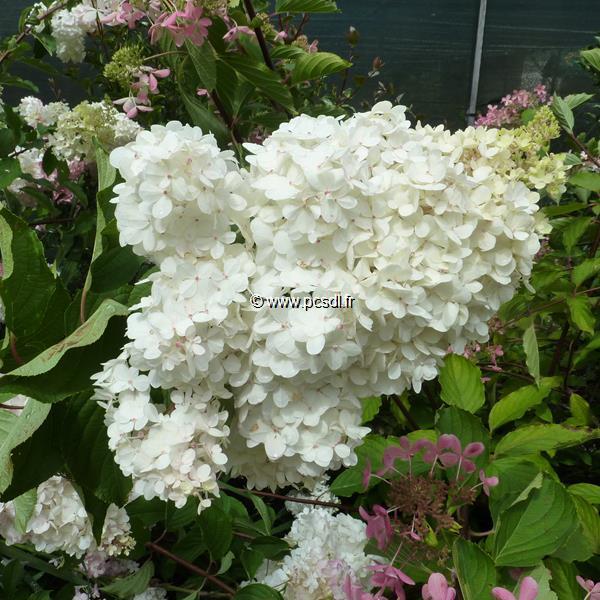 Hydrangea paniculata \'Vanille Fraise\' ® C4L 40/50