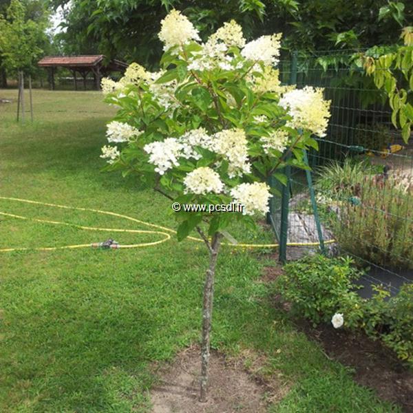 Hydrangea paniculata \'Vanille Fraise\' C15L Tige 150cm