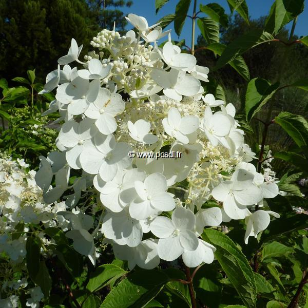Hydrangea paniculata \'White Moth\' C4L 30/40