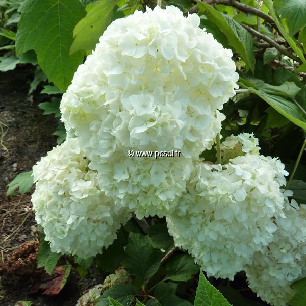 Hydrangea quercifolia \'Snowdrift\'