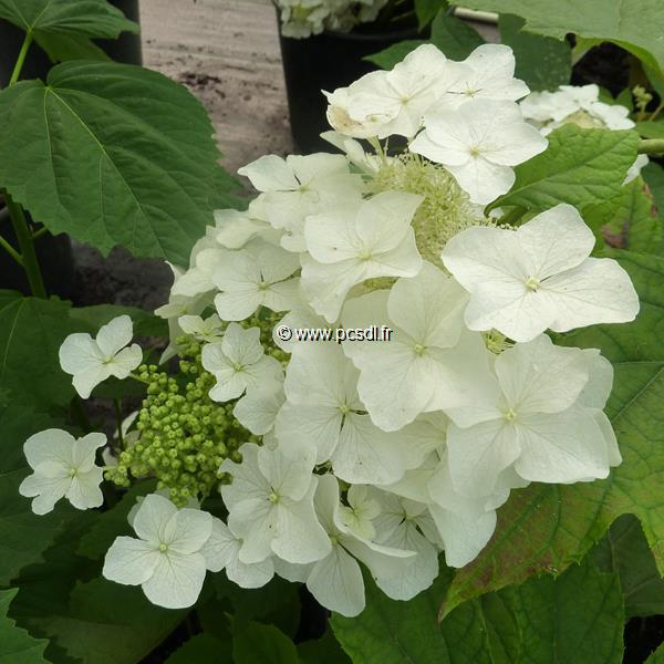 Hydrangea quercifolia \'Tennessee Clone\' C3L 40/50