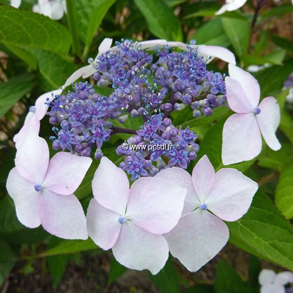 Hydrangea serrata \'Grayswood\' C4L 20/40
