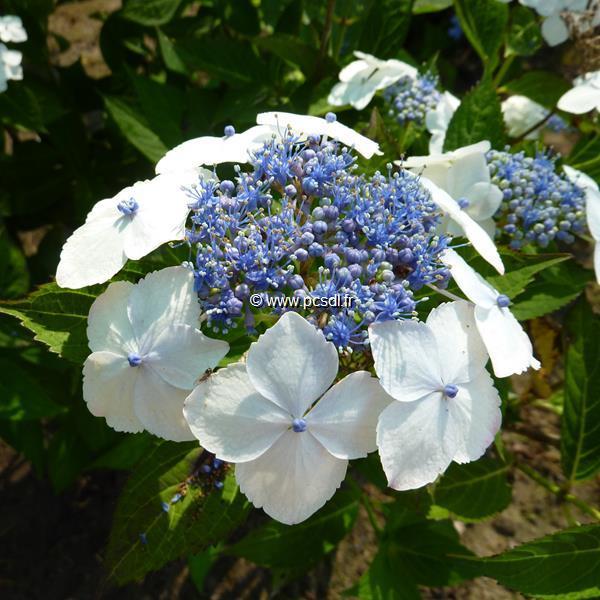 Hydrangea serrata \'Tokyo Delight\' C4L 20/40