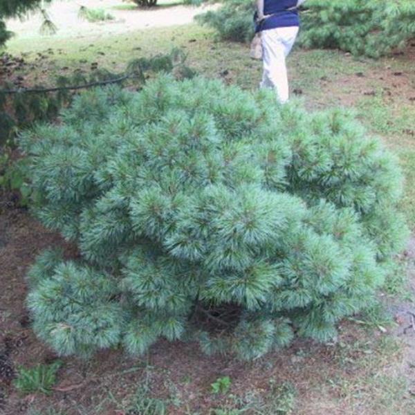 Pinus densiflora \'Umbraculifera\' C4L 30/40