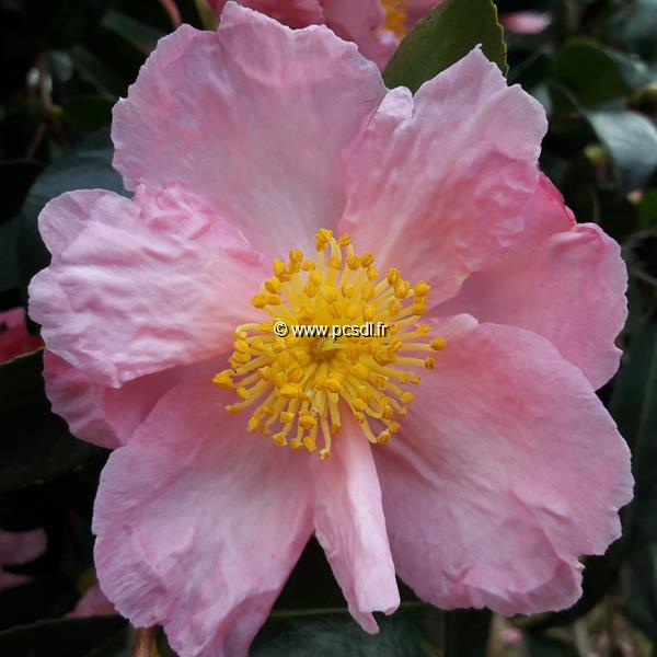 Camellia sasanqua \'Plantation Pink\' C50L 175/200