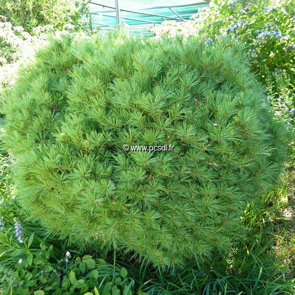 Pinus strobus \'Nana\' C7L 30/40