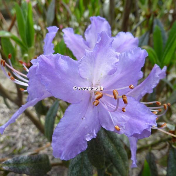 Rhododendron augustinii \'True Blue\' C4L 30/40
