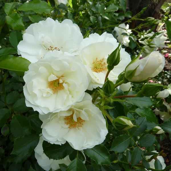 Rosa \'Opalia\' ® C2L 30/40
