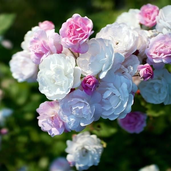 Rosa \'Blush Noisette\' C3L 40/60