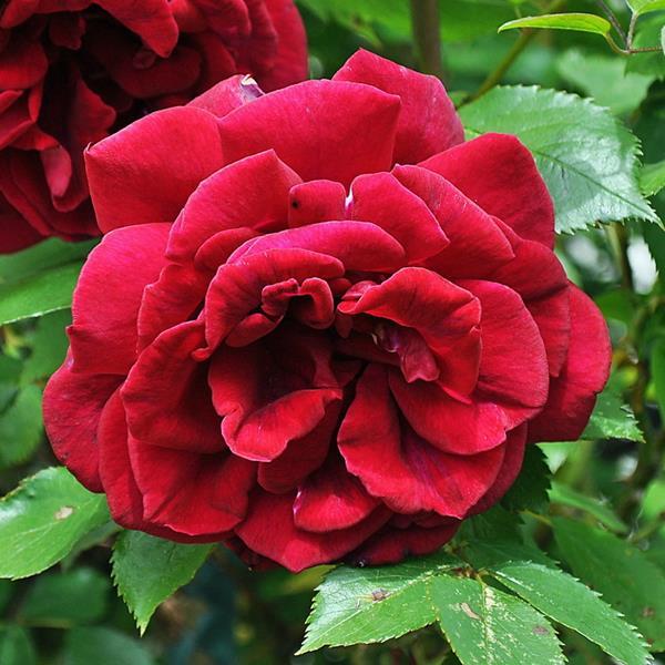 Rosa \'Red Parfum\' ® C3L 40/60