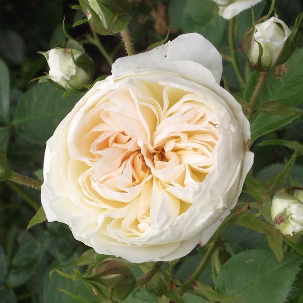 Rosa \'Mon Jardin & Ma Maison\' ® C5L 40/60