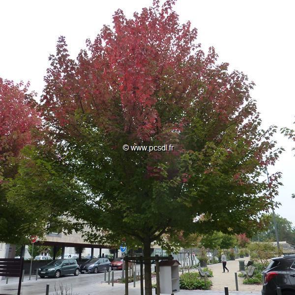 Acer x freemanii \'Autumn Blaze\' ®