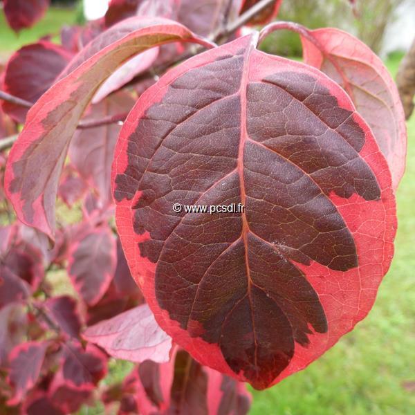 Cornus florida \'Pink Flame\' C15L 100/125