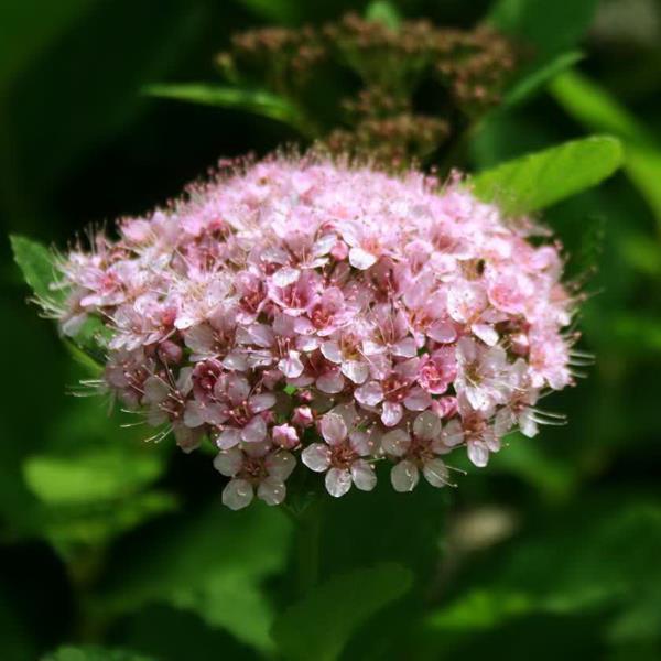 Spiraea betulifolia \'Pink Sparkler\' ® C4L 30/40
