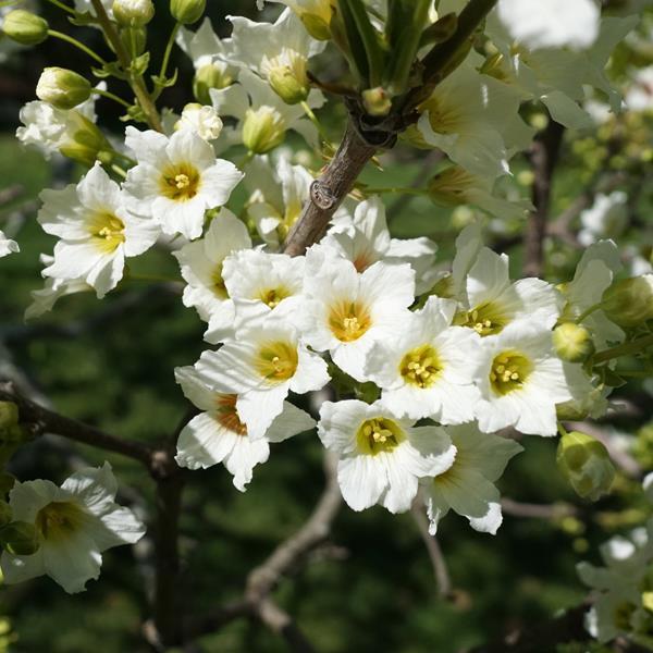 Xanthoceras sorbifolium C3L 20/30