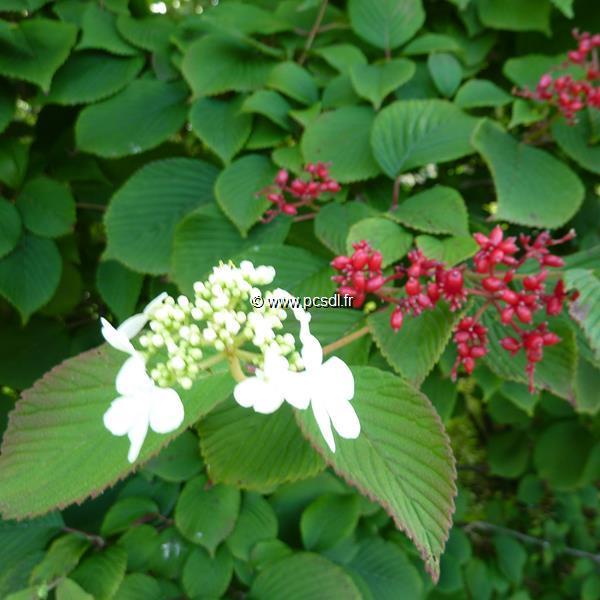 Viburnum plicatum \'Dart\'s Red Robin\' C15L 150/175