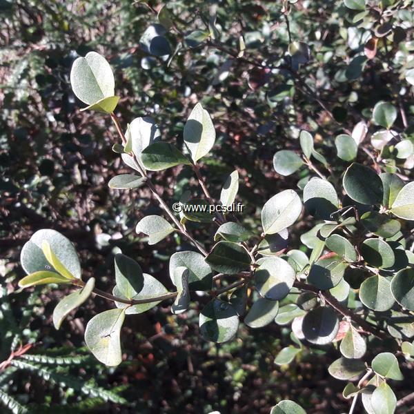 Viburnum harryanum C4L 40/50
