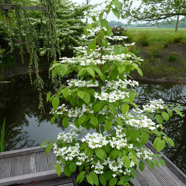 Viburnum plicatum \'Kilimanjaro\' ® C25L 175/200