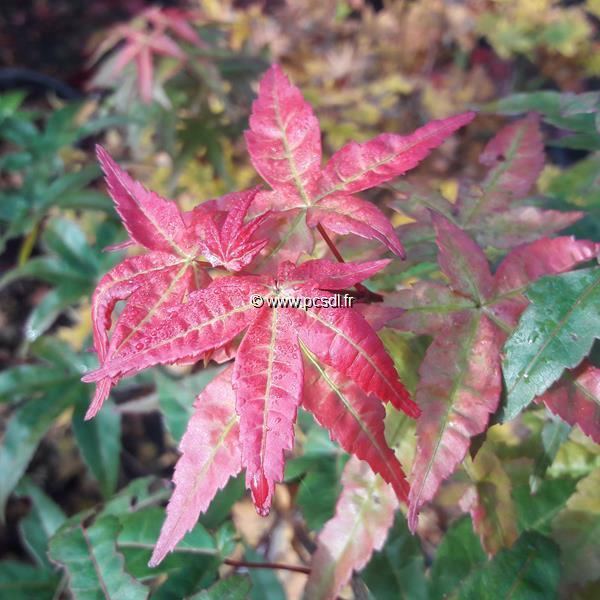 Acer palmatum \'Beni Maiko\' C15L 60/80