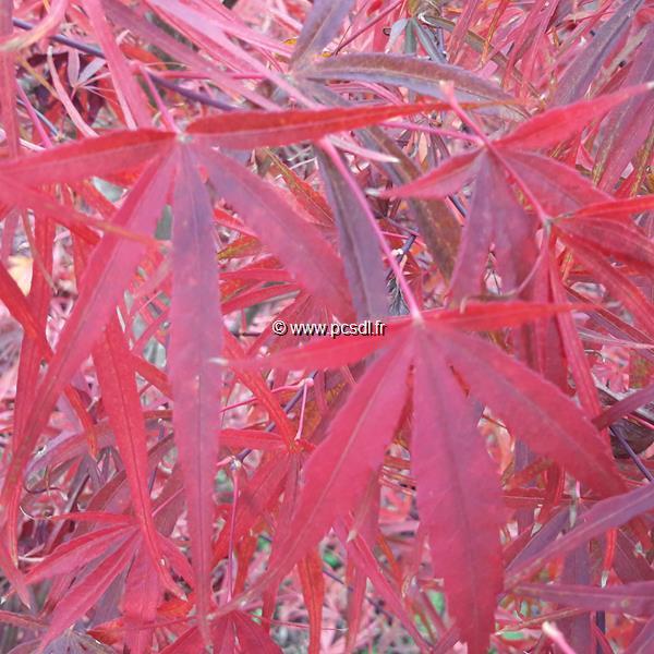 Acer palmatum \'Beni Otake\' C15L 175/200