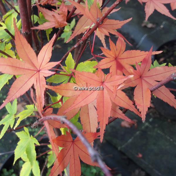Acer Palmatum Winter Flame C5l 6080 Tous Les Arbres