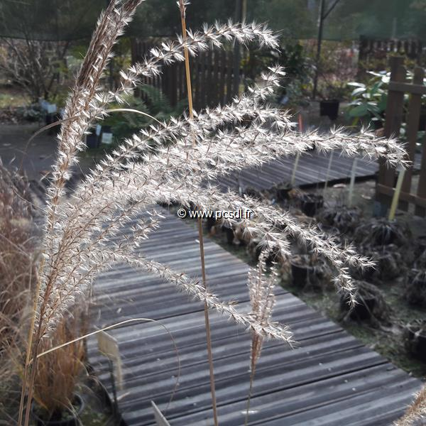 Miscanthus sinensis \'Morning Light\' C3L